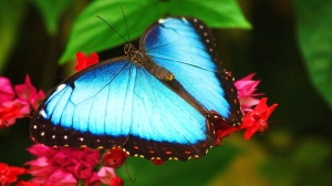 ws_Beautiful_Blue_Butterfly_1920x1200