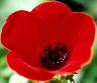Poppy-1jzy3h8