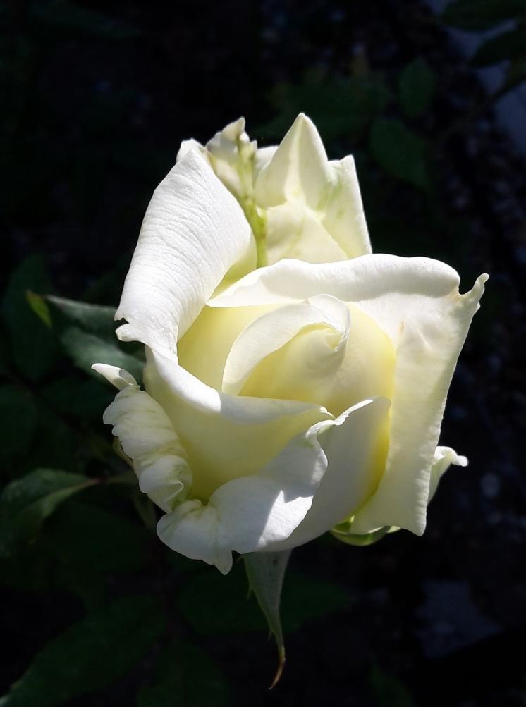 rose-2711023_1920